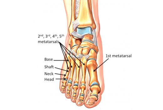 Metatarsals anatomy